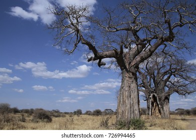 Old Baobab trees in landscape, Tanzania, East Africa