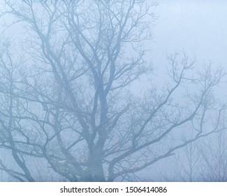 Old bare winter tree in mist.