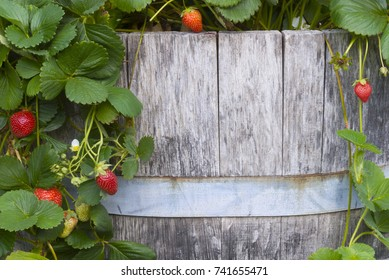 An old barrel surrounded by strawberries waits for your text.