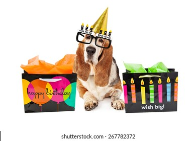 An old Basset Hound dog wearing funny party hat and over the hill glasses with birthday gift bags
