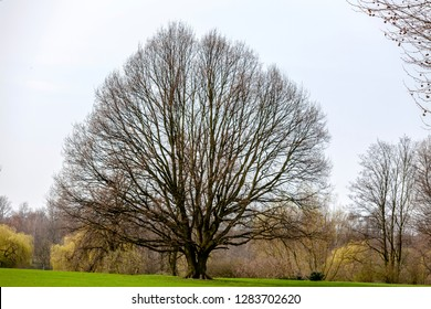 The old beech has been around for several years