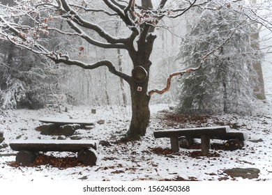 Old beech tree covered by snow. Benches under tree. Hiking rest benches under old tree. Snowy autumn in mountains.