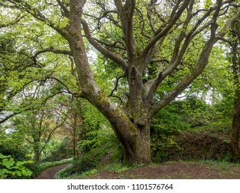 Old beech tree (Fagus sylvatica) in  a woodland in Cornwall UK in the spring with bluebells and wild garlic in flower