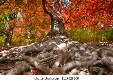 old beech tree with nice roots as nice background