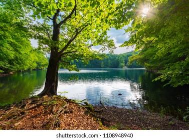 Old beech tree on the shore of Morske Oko lake in sunburst. beautiful Vihorlat landscape of Slovakia in summer. primeval beech forest area.