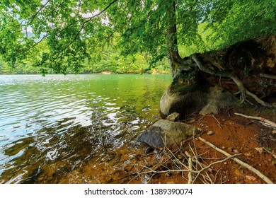 Old beech tree on the shore of Morske Oko lake in sunburst. beautiful Vihorlat landscape of Slovakia in summer. primeval beech forest area.