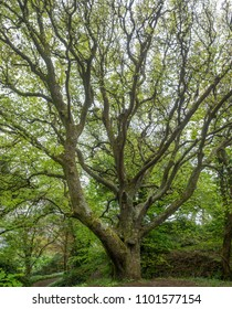 Old beech tree in  a woodland in Cornwall UK in the spring with bluebells and wild garlic in flower
