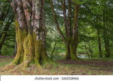 Old beech trees covered with moss, Glencoe, Scotland. Concept: Scottish famous panoramas, mysterious ancient places, Scottish nature