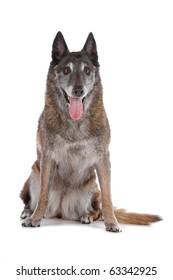 old Belgian Shepherd isolated on a white background