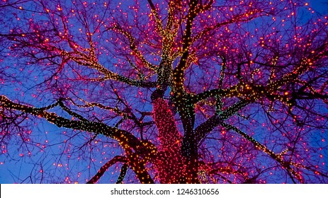 Old big tree decorated with yellow, orange, and red Christmas lights.