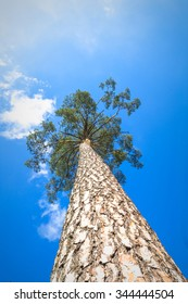 old big tree on color background with blue sky, nature series