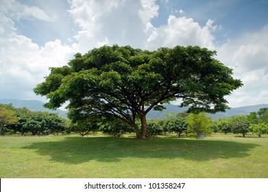 old big tree under blue sky at wangnamkiaw, Thailand
