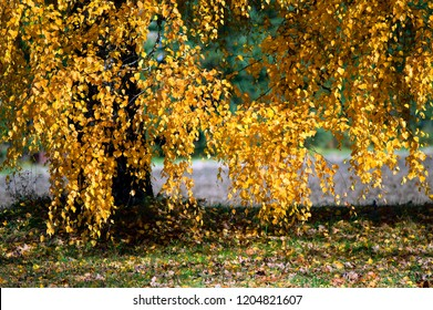 Old birch with bright yellow leaves in autumn.