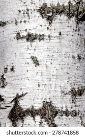 Old birch tree bark