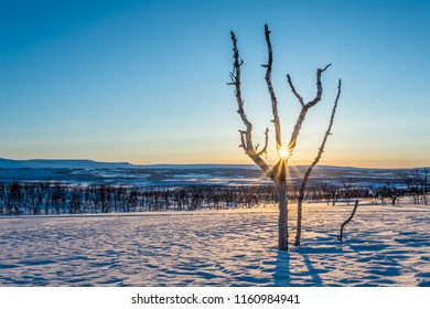 Old Birch in the Wintertime at sunrise