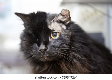 Old black cat with one eye