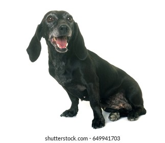 old black dachshund in front of white background