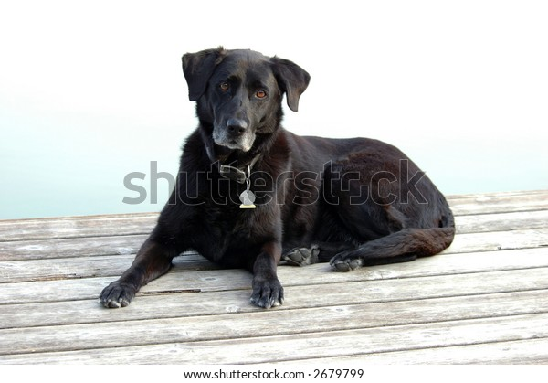 Old Black Lab Rests on Dock