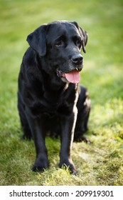 Old black labrador retriever sitting at the yard in summer.