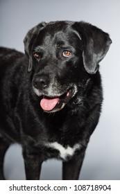 Old black labrador retriever. Studio shot isolated on grey background.