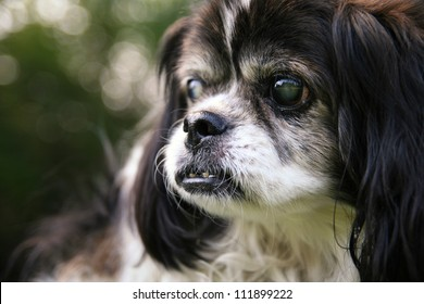 an old blind senior dog at a park