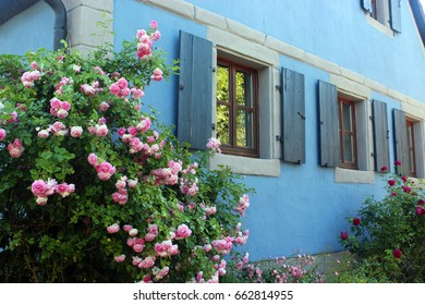 old blue house, renovated, with shutters and  blooming roses