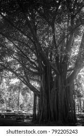 old Bodhi Tree