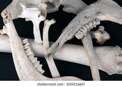 old bones of animals black backgrounded, close up