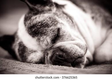 Old Boston Terrier Dog Sleeping