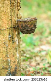 Old bowl on rubber tree