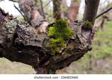 Old branch with moss and lichen. In the old apple garden