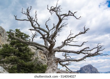 Old branched dead tree