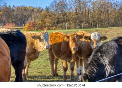 Old breeds of cow cattle being kept in a meadow. Organic farming.