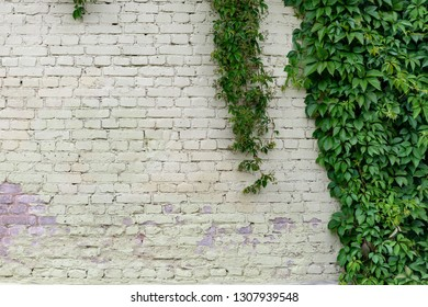Old brick building wall covered with foliage
