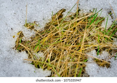 Old bright grass and melting snow in spring