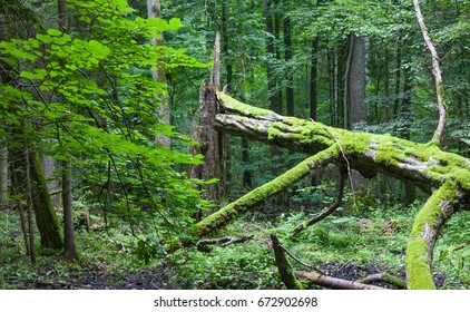 Old broken hornbeam tree moss wrapped lying in front of deciduous stand, Bialowieza Forest, Poland, Europe