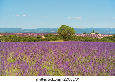 Old broken house in French lavender field