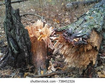 Old broken pine in the woods
