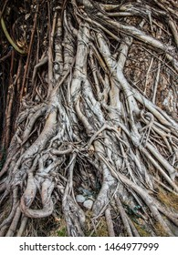 old brown balete tree roots in the Philippines