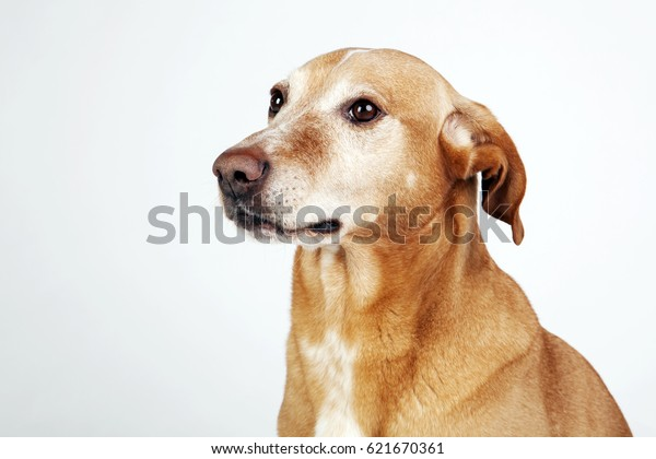Old Brown Dog Sitting Profile Us Stock Photo (Edit Now) 621670361