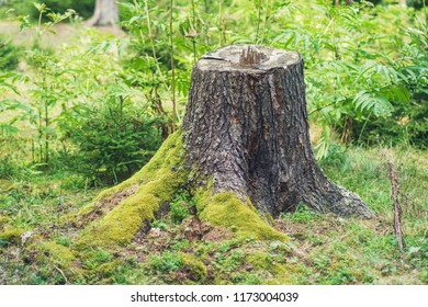 old brown pine tree wood stub covered by moss