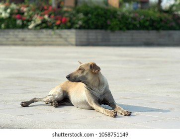 """old brown shot fur hair homeless dog laying on grey concrete pathway floor as usual found in BANGKOK waiting hopeless for """"set-zero"""" action plan of the government under rabies situation THAILAND 2018"""
