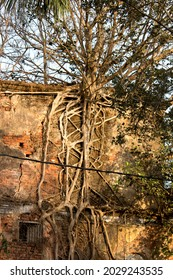 Old Building With Banyan Tree, Damaged Brick Wall Abandoned - Shutterstock ID 2029243535