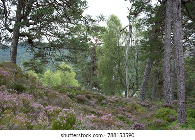Old Caledonian Pine Forest