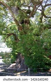 Old camphor tree of Suga shrine in Fujieda city, Shizuoka prefecture, Japan