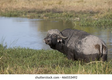 Old Cape Buffalo on the Khawi River in Botswana Africa