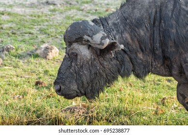 Old Cape buffalo (Syncerus caffer) with a broken horn covered in mud grazes on the bank of the Chobe river in the Chobe National Park, Botswana.