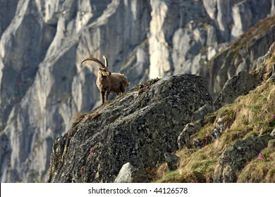 Old capra ibex standing on a rock