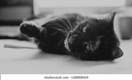 Old cat on the table, black and white