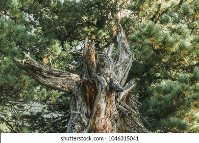 Old cedar tree in the wild forest